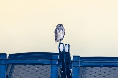 Burrowing Owl and Patio Furniture